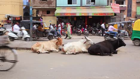 Sacred-cows-sit-calmly-on-a-street-in-India-while-traffic-passes-by
