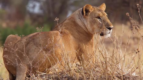 Very-good-shot-of-a-female-African-lion-alert-and-looking-for-prey-Serengeti-Tanzania