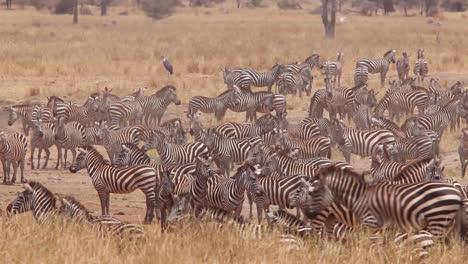 A-herd-of-zebra-stands-in-the-heat-on-the-Serengeti-Tanzania-Africa-safari