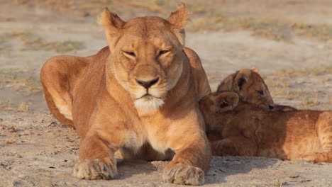 Magnificent-shot-of-a-family-of-lions-sitting-on-the-savannah-on-safari-at-the-Serengeti-Tanzania