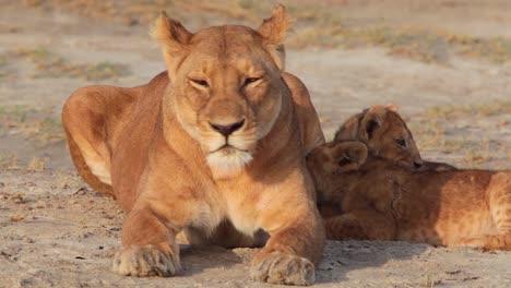 Herrliche-Aufnahme-Einer-Löwenfamilie-Die-Auf-Safari-In-Der-Serengeti-Tansania-In-Der-Savanne-Sitzt
