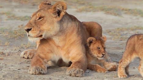 Herrliche-Aufnahme-Einer-Löwenfamilie-Die-Auf-Safari-In-Der-Serengeti-Tansania-In-Der-Savanne-Sitzt-1