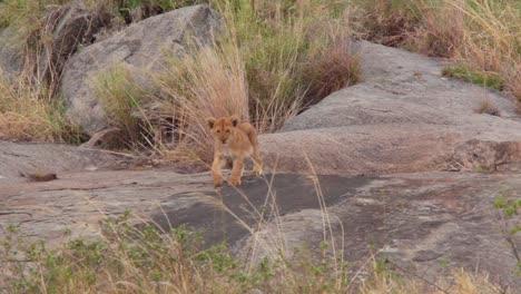 A-baby-lion-cub-walks-on-stones-on-safari-on-the-savannah-of-Serengeti-Tanzania-Africa