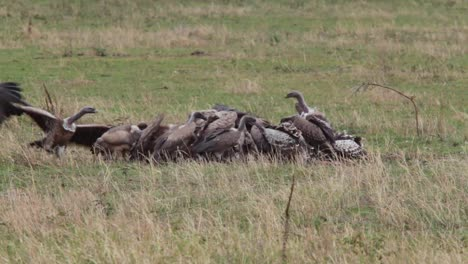Vultures-go-wild-feeding-on-a-dead-animal-on-safari-on-the-plains-of-the-Serengeti-Tanzania-Africa