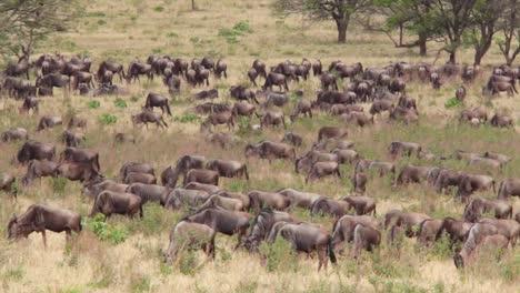 Wildebeest-migrate-across-the-plains-of-the-Serengeti-Tanzania-Africa-on-safari-during-migration-season
