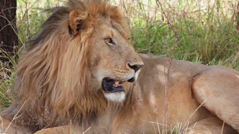 Schöne-Nahaufnahme-Eines-Stolzen-Männlichen-Löwen-Auf-Safari-Im-Busch-Der-Serengeti-Tansania-Afrika