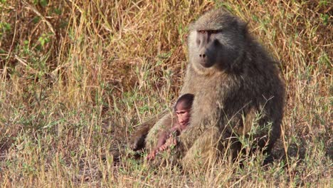 A-mother-baboon-nurses-her-baby-on-the-Serengeti-Tanzania-Africa-safari-1