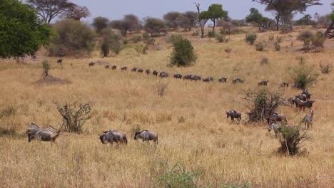Wildebeest-migrate-across-the-plains-of-the-Serengeti-Tanzania-Africa-on-safari-during-migration-season-1