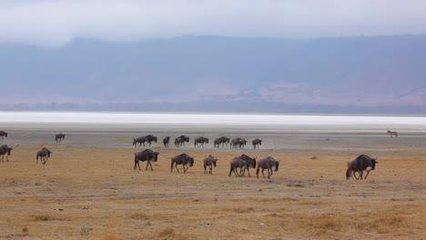 Los-ñus-Migran-A-Través-De-Las-Llanuras-Del-Serengeti-Tanzania-África-En-Un-Safari-Durante-La-Temporada-De-Migración-2