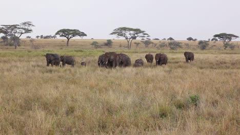 Elephants-migrate-across-the-plains-of-the-Serengeti-Tanzania-Africa
