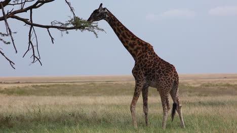 A-giraffe-eats-from-a-high-tree-on-the-Serengeti-Tanzania-Africa