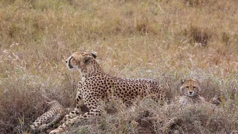 A-beautiful-cheetah-sits-with-her-cub-babies-on-the-grass-of-the-savannah-on-safari-in-Serengeti-Park-Tanzania