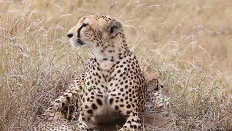 A-beautiful-cheetah-sits-with-her-cub-babies-on-the-grass-of-the-savannah-on-safari-in-Serengeti-Park-Tanzania-1