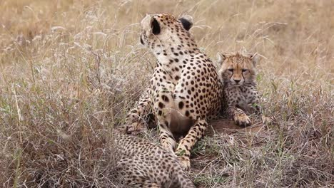 A-beautiful-cheetah-sits-with-her-cub-babies-on-the-grass-of-the-savannah-on-safari-in-Serengeti-Park-Tanzania-2