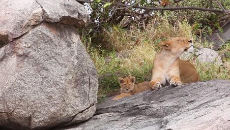 Magnífica-Foto-De-Una-Familia-De-Leones-Sentados-En-La-Sabana-De-Safari-En-El-Serengeti-Tanzania-2