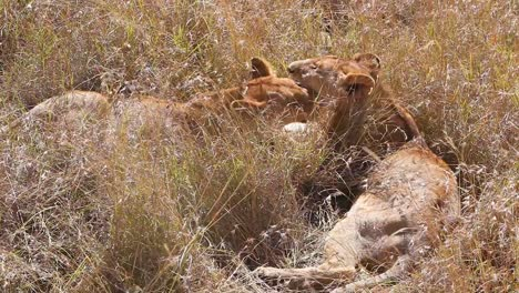 Two-lions-lick-and-kiss-each-other-sitting-on-the-savannah-on-safari-at-the-Serengeti-Tanzania-in-a-show-of-affection