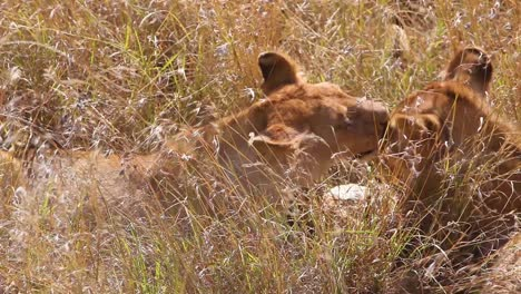 Two-lions-lick-and-kiss-each-other-sitting-on-the-savannah-on-safari-at-the-Serengeti-Tanzania-in-a-show-of-affection-1