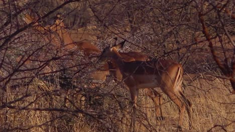 Impala-antelopes-walk-in-the-dry-brush-of-a-wildlife-reserve-in-Africa