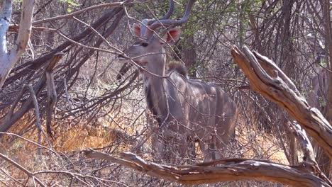 Kudu-Impala-Pastan-En-La-Maleza-Seca-De-Una-Reserva-De-Vida-Silvestre-En-Un-Safari-En-África