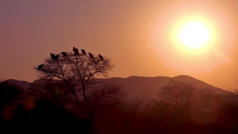 A-large-group-of-vultures-sit-in-a-tree-at-sunrise-or-sunset-in-Africa-looking-for-carrion
