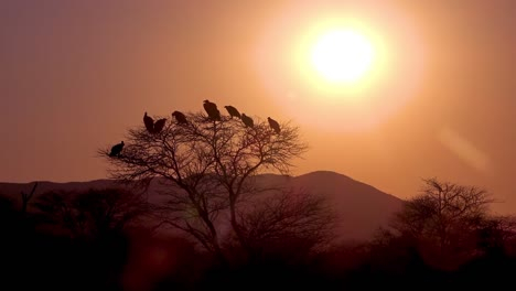 A-large-group-of-vultures-sit-in-a-tree-at-sunrise-or-sunset-in-Africa-looking-for-carrion-1