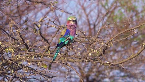 A-lilac-breasted-roller-multi-colored-bird-sits-in-a-tree-on-safari-in-Namibia-Africa