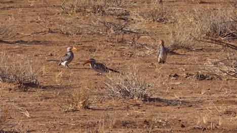 Yellow-billed-hornbills-forage-on-the-ground-in-Africa