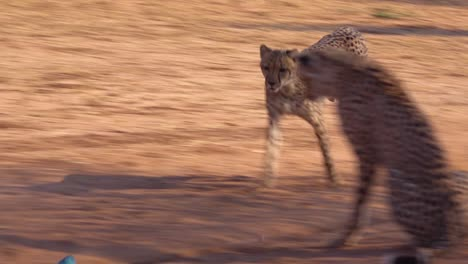 A-cheetah-running-chases-a-moving-target-in-slow-motion-attached-to-a-rope-at-a-cheetah-rehabilitation-center-in-Namibia
