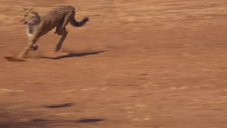 A-cheetah-running-chases-a-moving-target-in-slow-motion-attached-to-a-rope-at-a-cheetah-rehabilitation-center-in-Namibia-1
