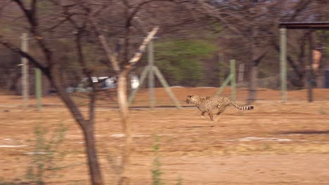 A-cheetah-running-in-slow-motion-chases-a-moving-target-attached-to-a-rope-at-a-cheetah-rehabilitation-center-in-Namibia
