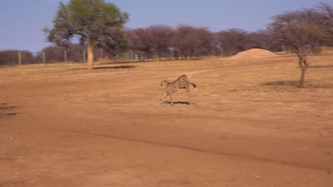 A-cheetah-running-in-slow-motion-chases-a-moving-target-attached-to-a-rope-at-a-cheetah-rehabilitation-center-in-Namibia-1