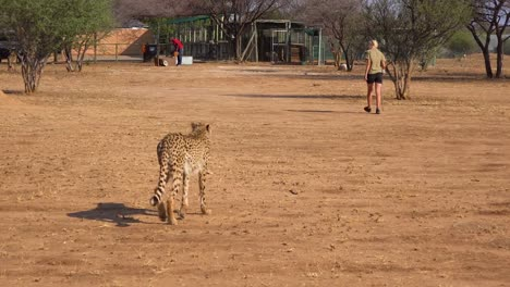 A-trainer-trains-and-leads-a-cheetah-at-a-cheetah-rehabilitation-center-in-Namibia-Africa