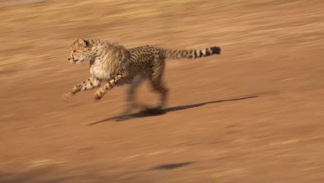 A-cheetah-running-chases-a-moving-target-attached-to-a-rope-at-a-cheetah-rehabilitation-center-in-Namibia