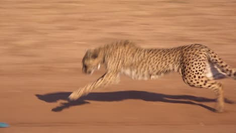 A-cheetah-running-chases-a-moving-target-in-slow-motion-attached-to-a-rope-at-a-cheetah-rehabilitation-center-in-Namibia-2