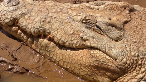 A-crocodile-slowly-opens-its-eye-in-a-muddy-pond-in-Namibia-Africa