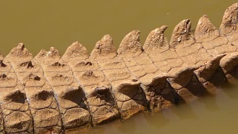 Pan-across-a-crocodile-sitting-in-a-muddy-pond-in-Namibia-Africa