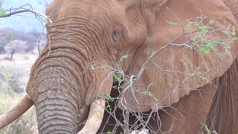 Close-up-of-a-large-African-elephant-using-trunk-to-break-off-branches-and-eat-vegetarian-style