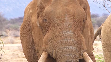 Close-up-of-a-large-African-elephant-using-large-ears-to-fan-himself