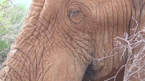 Extreme-close-up-of-an-African-elephant-chewing-his-dinner-on-the-savannah