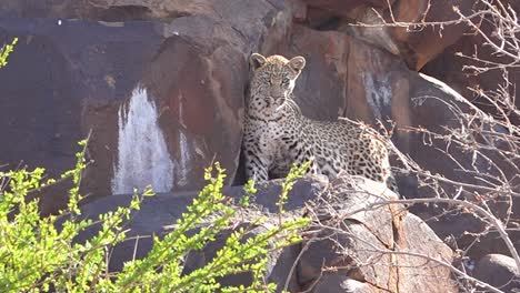 A-leopard-looks-down-from-a-perch-on-a-rock-cliff-on-safari-on-the-African-savannah-in-Namibia