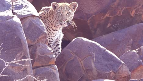 A-leopard-looks-down-from-a-perch-on-a-rock-cliff-on-safari-on-the-African-savannah-in-Namibia-1