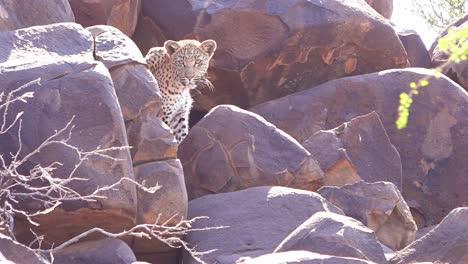 Un-Leopardo-Mira-Hacia-Abajo-Desde-Una-Percha-En-Un-Acantilado-De-Roca-En-Un-Safari-En-La-Sabana-Africana-En-Namibia-2