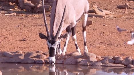 Un-Antílope-Oryx-Africano-Camina-Hacia-Un-Abrevadero-En-Namibia-Y-Bebe