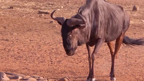 An-African-wildebeest-walks-to-a-watering-hole-in-Namibia-and-drinks