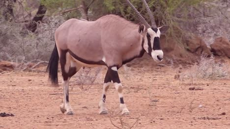 An-African-oryx-antelope-walks-to-a-salt-lick-in-Namibia-and-drinks