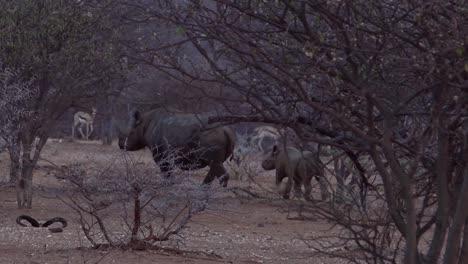 Seltenes-Spitzmaulnashorn-Und-Baby-Laufen-Durch-Den-Busch-In-Namibia