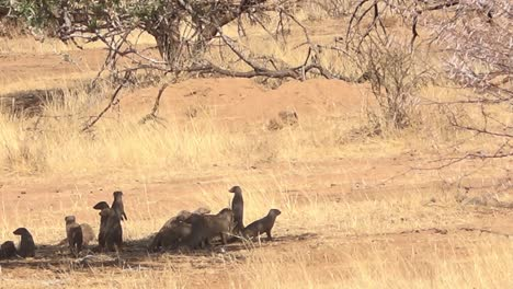 Mongoose-run-across-the-plains-of-Namibia-Africa