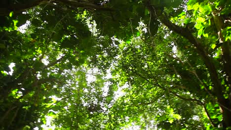 Low-angle-POV-of-jungle-canopy-overhead