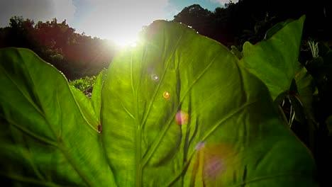 Plantación-De-Tarot-En-Hawaii