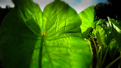 POV-shot-panning-through-green-plants-and-leaves-1
